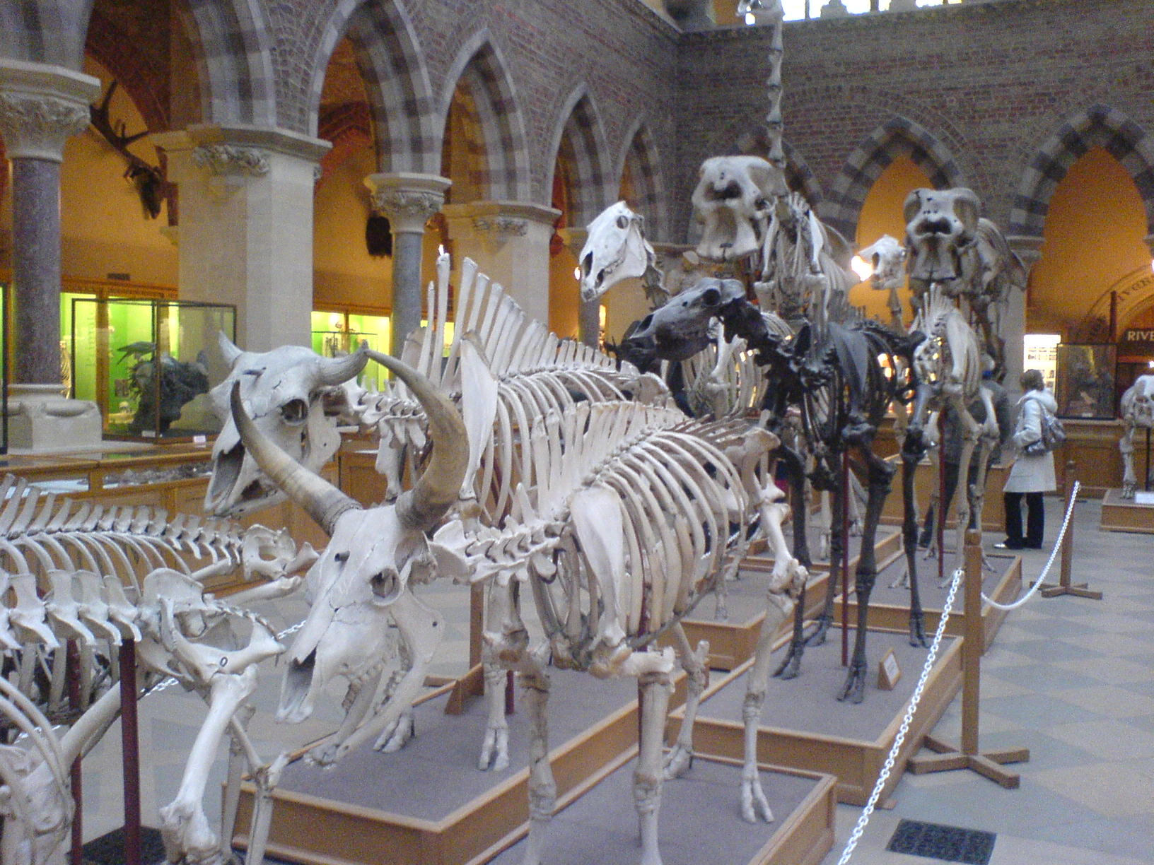 mammal_skeletons_oxford_university_museum_of_natural_history_oxford_england_-_20070128